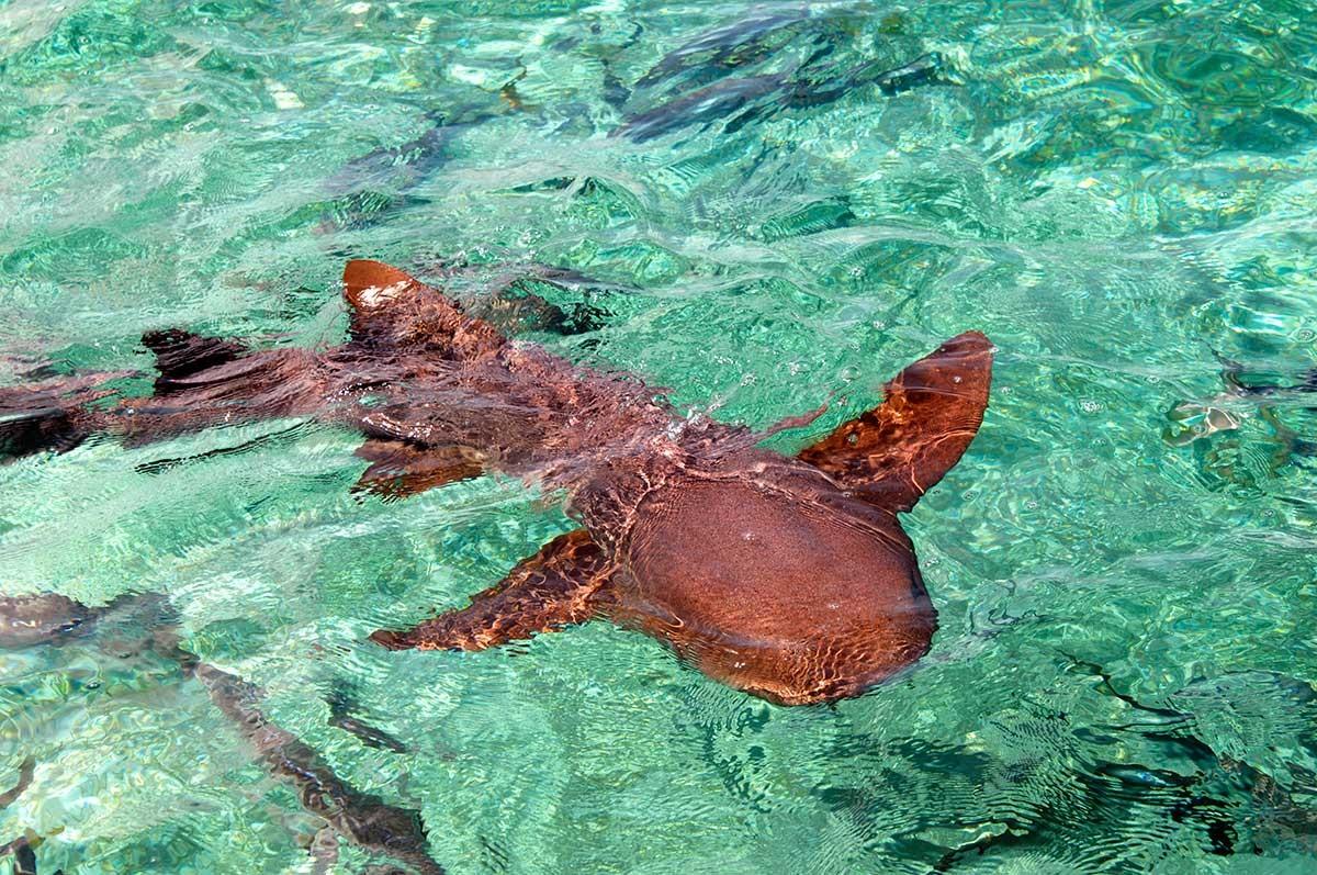 Belize Ambergries island, tiburon Nurse, bajo las cristalinas aguas de los arrecifes