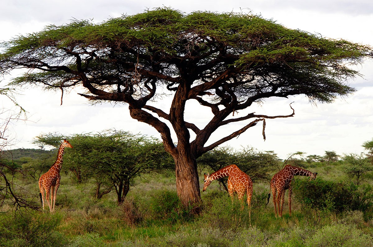 Jirafas recticuladas en la sabana kenya