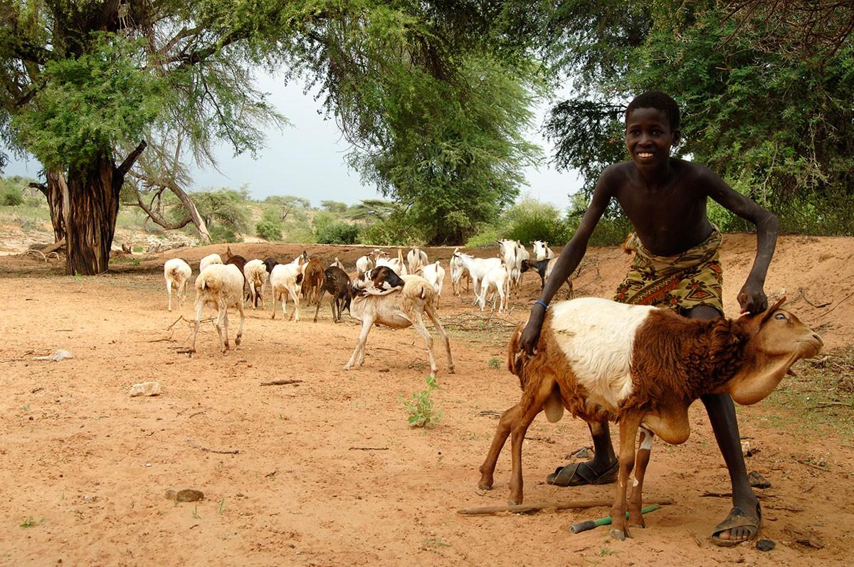 Niño pastor mostrando su hermoso ganado Kenya