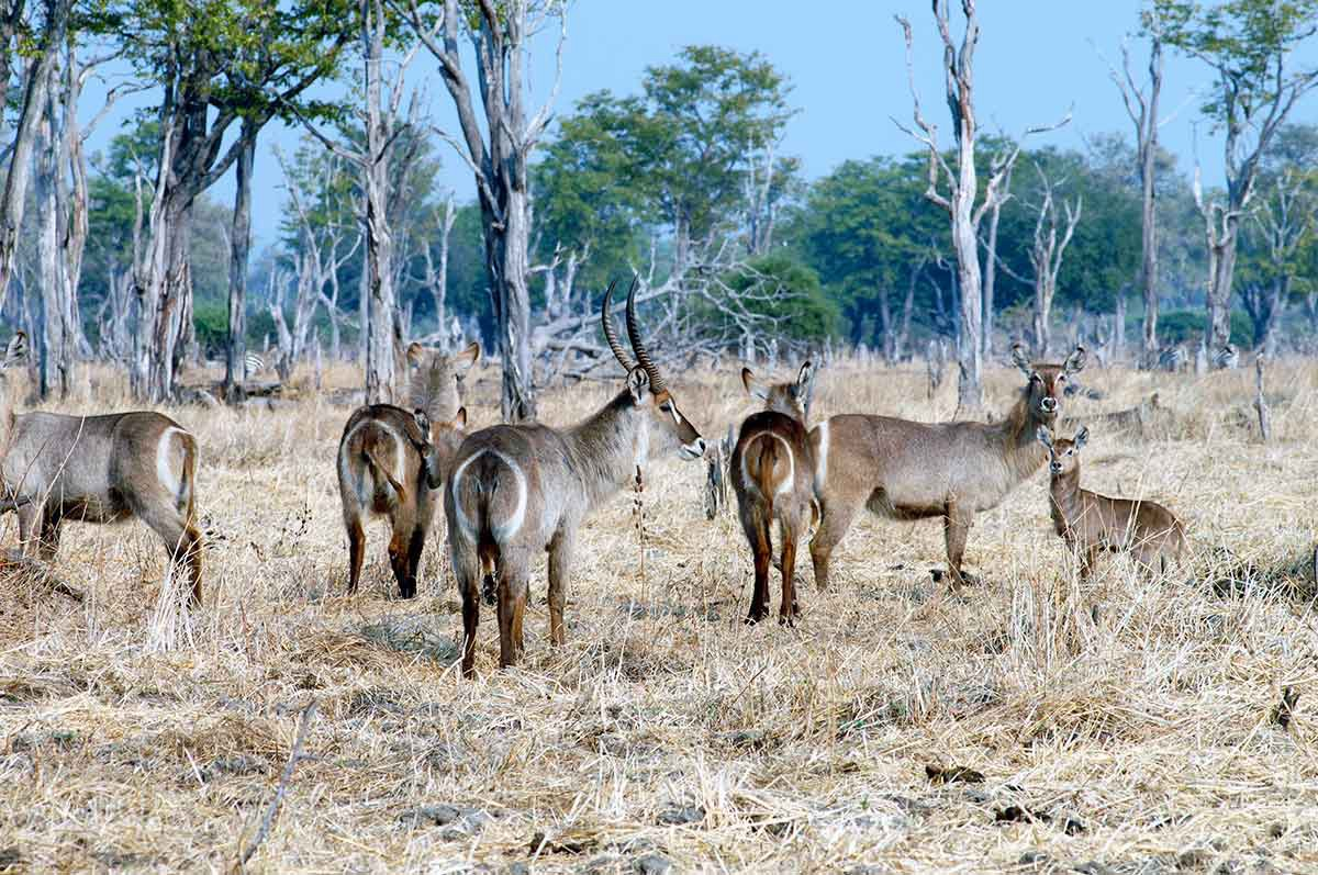 antilopes en la sabana South Luangwa
