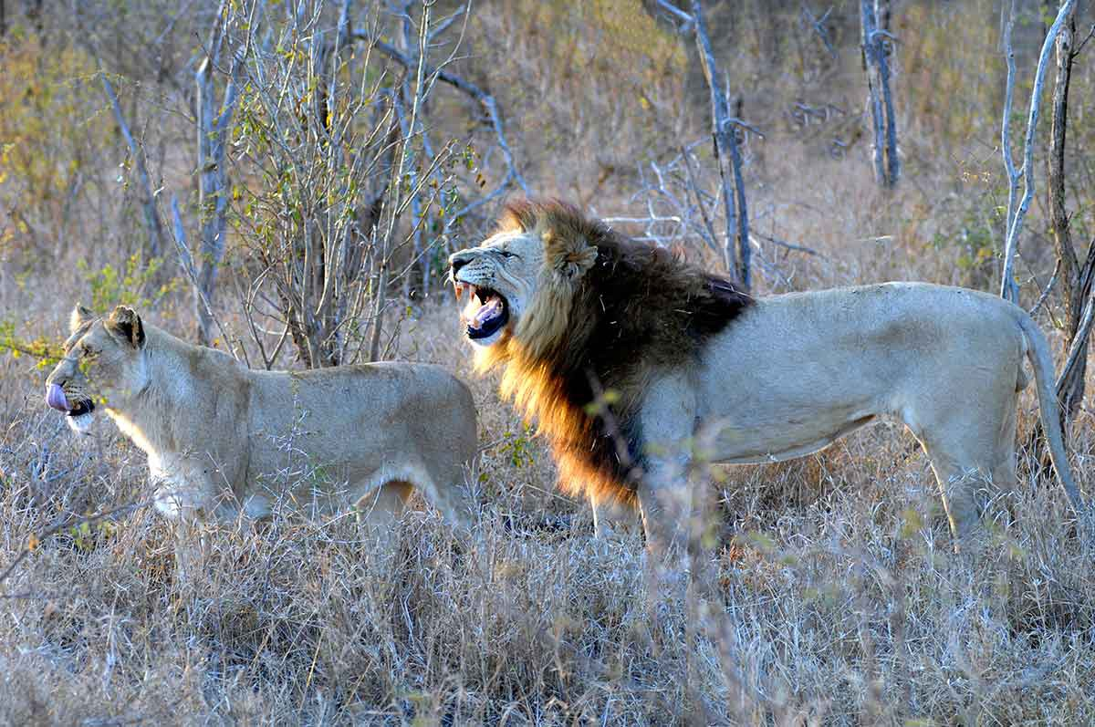 leones en la sabana zambia