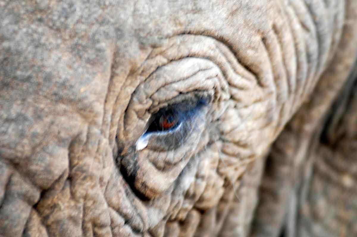 elefante detalle de su ojo