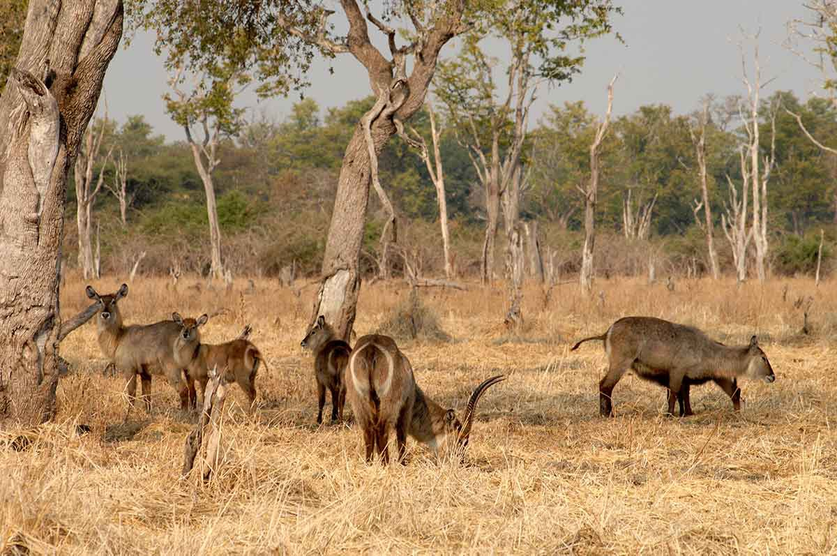 South Luangwa National Park sabana antilopes